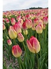 Tulipa Swiss Dream, triump, chemical-free grown