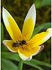 Tulipa Tarda - chemiefreier Anbau