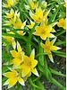 Tulipa Tarda  - chemical free grown