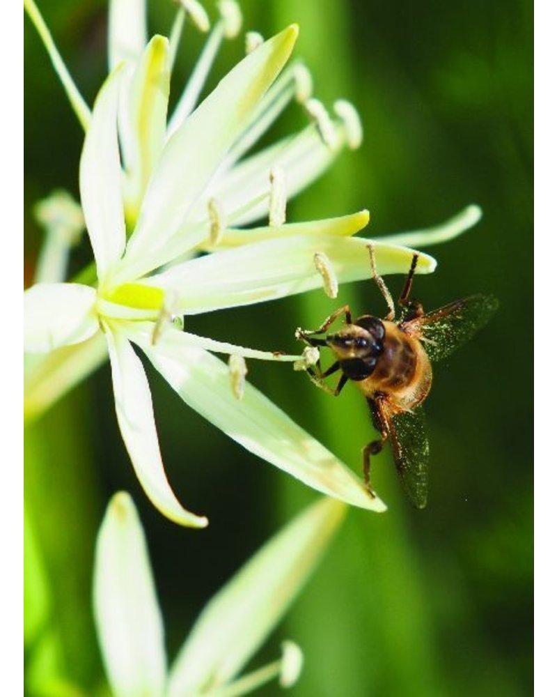 Prärielilie weiss  - camassia leichtlinii sacajawea - chemiefreier Anbau