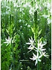 Indian flower white - camassia leichtlinii sacajawea - chemical-free grown
