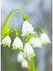 Knotenblume und Märzenbecher - Leucojum Aestivum Gravitye Giant - chemiefreier Anbau