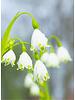 Snowflake - Leucojum Aestivum Gravitye Giant - chemical-free grown