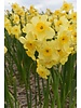 daffodil Golden Dawn - chemical-free grown