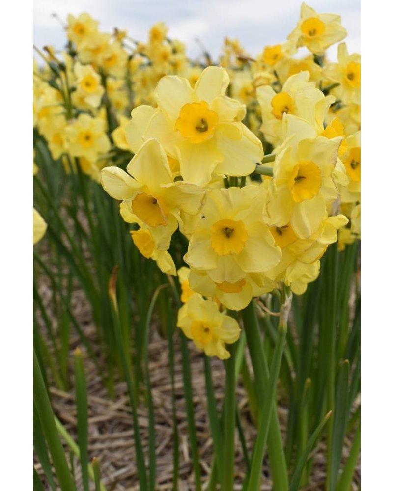 Narcis Golden dawn - chemievrij geteeld