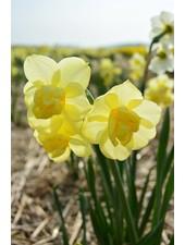 Narcis Yellow Cheerfullness