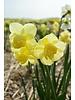 Narzisse Yellow Cheerfullness - chemiefreier Anbau