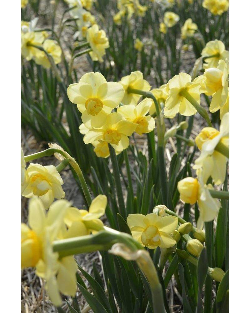 Daffodil Yellow Cheerfullness - chemical free grown