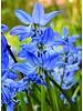 Sibirischer Blaustern - scilla siberica - chemiefreier Anbau