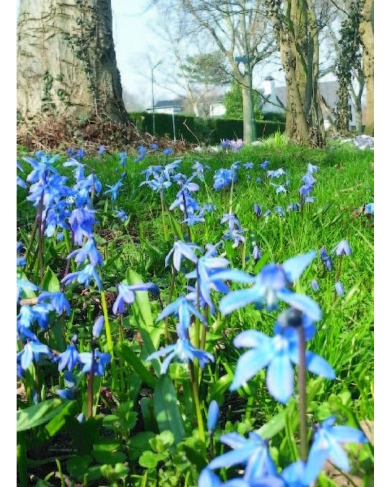 Siberian squill - scilla siberica - chemical-free grown