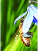 Oosterse Sterhyacint - scilla siberica - chemievrij geteeld