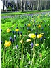 Bostulpje sinds 1530 - tulipa sylvestris  - chemievrij geteeld