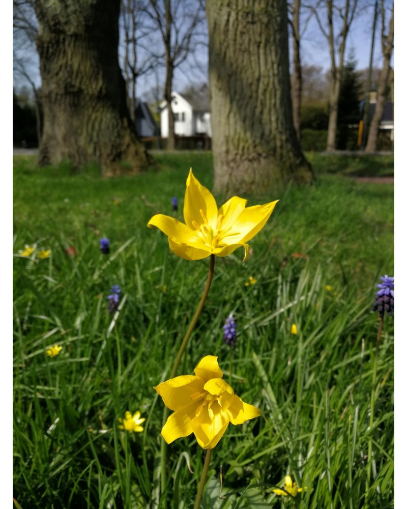 Forest tulip since 1530 - tulipa sylvestris - chemical-free grown