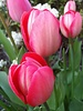 Tulip van Eijk -100%  chemiefreier Anbau