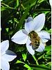 Spring star - ipheion uniflorum - chemical free grown