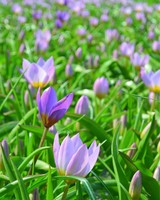Tulipa Lilac Wonder