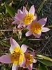 Zwergtulpe Saxatilus / Lilac Wonder - chemiefreier Anbau