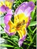 Botanisch Tulpje Lilac Wonder - tulipa lilac wonder - chemievrij geteeld