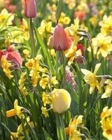 Tulip Daffodil Mix Package  - redyelllowcreme -1