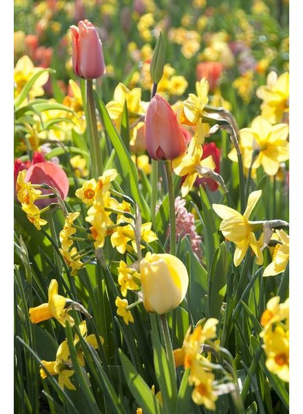 Tulip Daffodil Mix Package  - redyelllowcreme -1