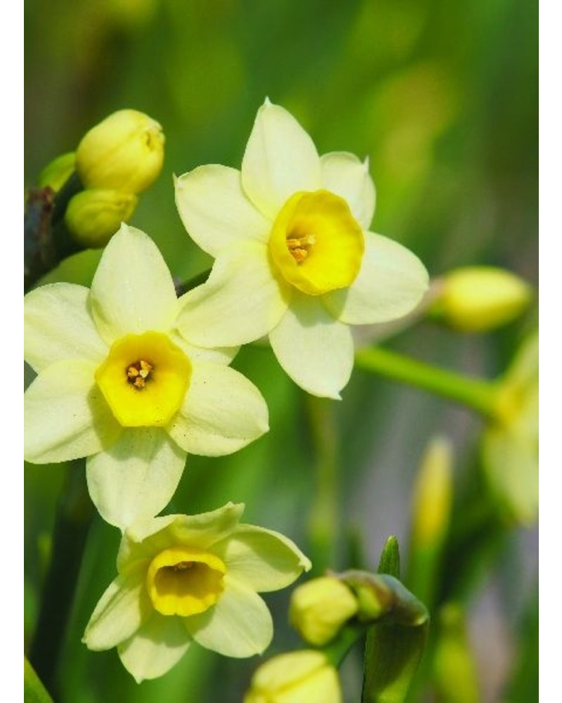 Tulip Daffodil Mix Package - redyelllowcreme -1- grown without chemicals