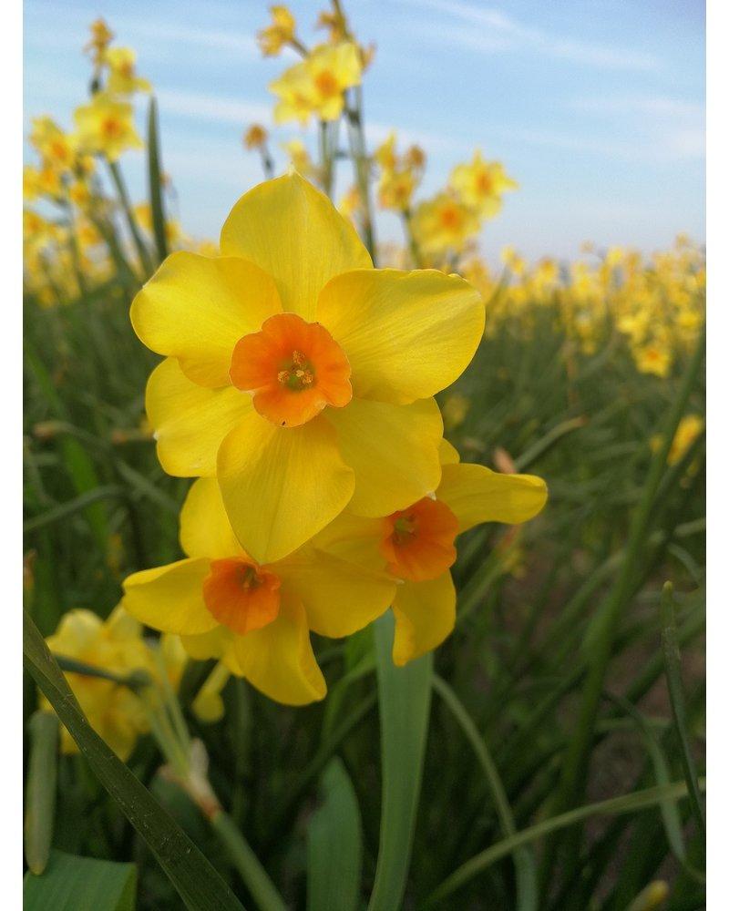 Tulp-narcis mixpakket - roodgeelcreme -1  Volledig zonder chemie geteeld