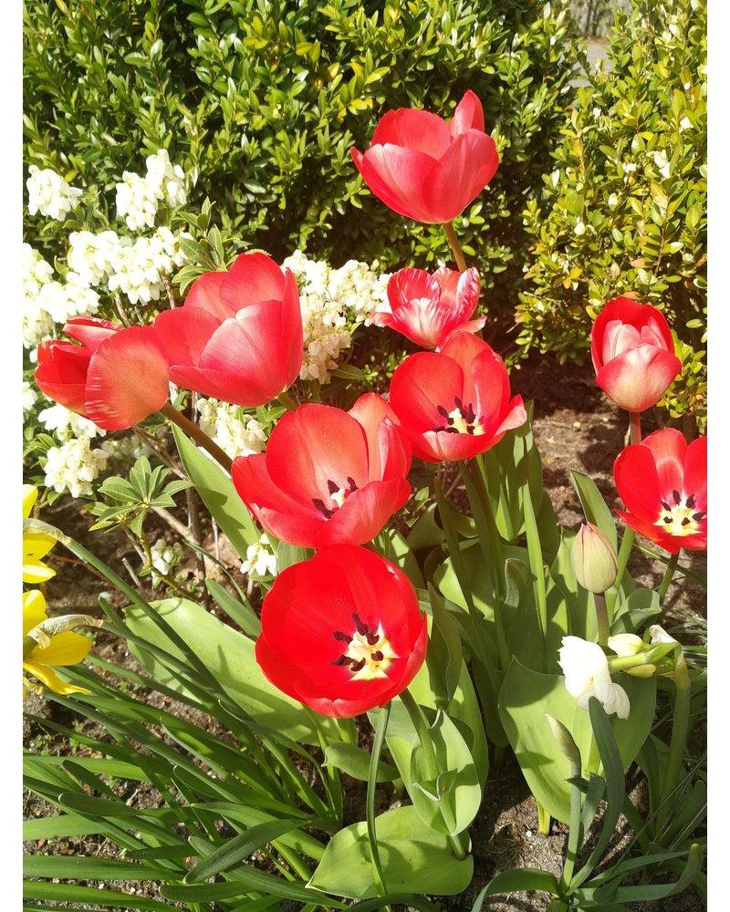 Tulpen-Narzissen-Mixpackung - rotgelbcreme -1- ohne Chemie gezüchtet