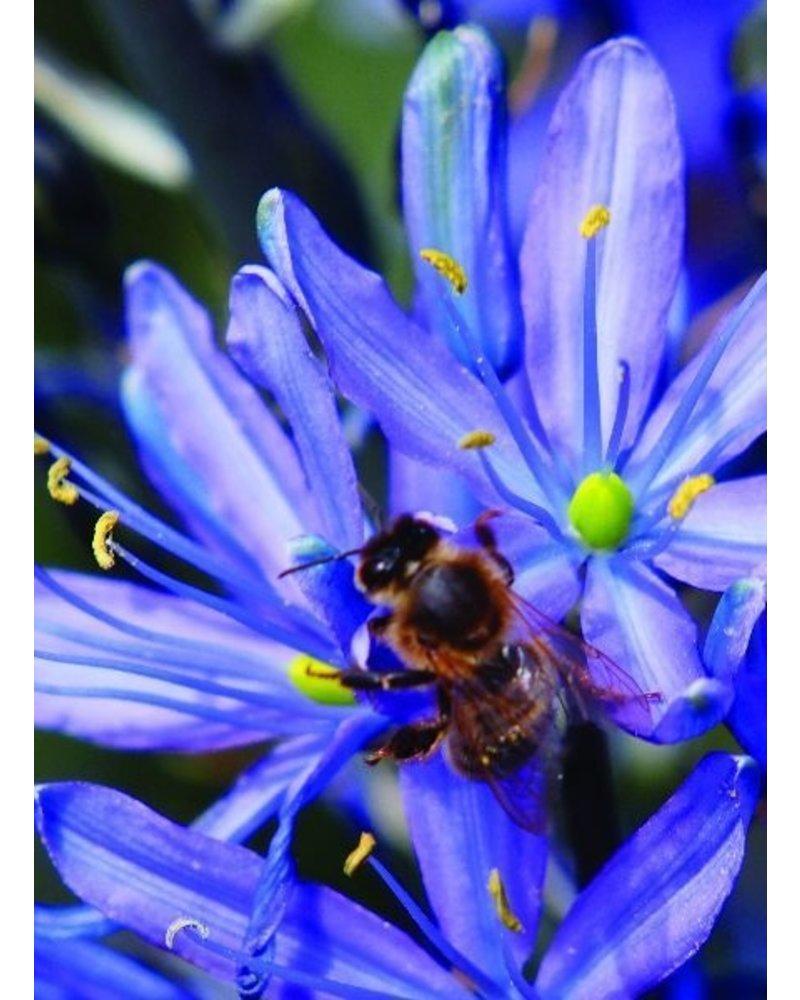 Indian flower blue - camassia leichtlinii caerulea - chemical-free grown