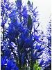 Prärielilie blau - camassia leichtlinii caerulea - ohne Chemie gezüchtet