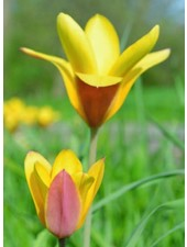 Tulipa Clusiana Taco