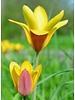 Tulipa Clusiana Taco - chemical-free grown