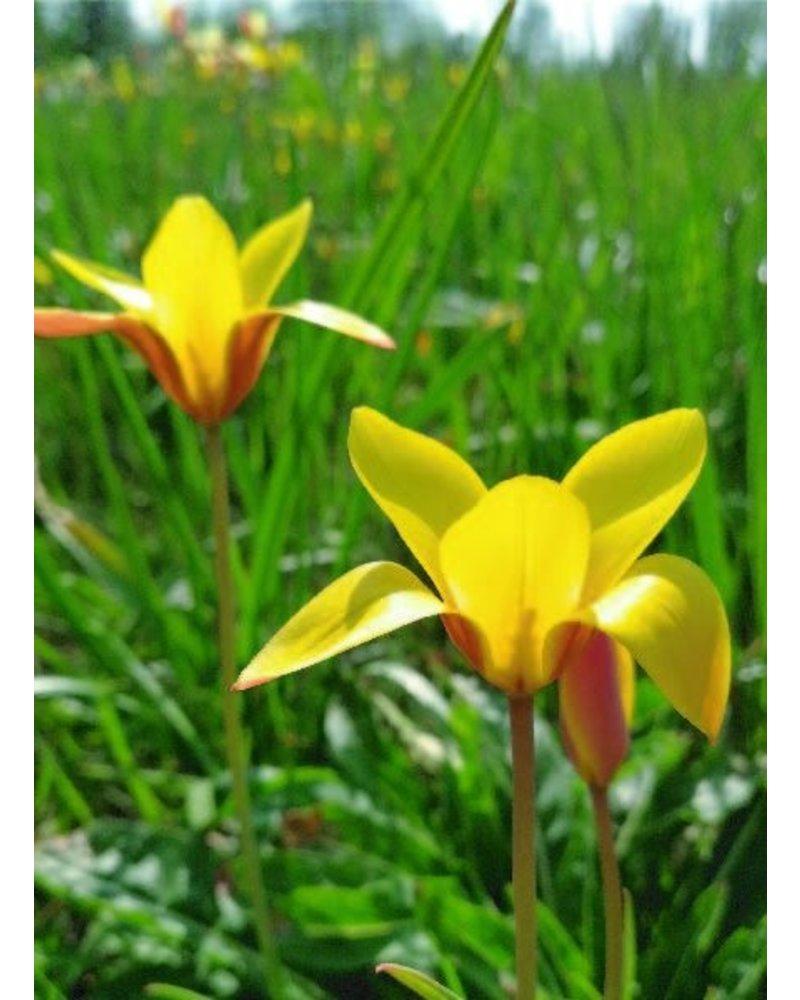 Botanisch Tulpje Clusiana Taco - tulipa clusiana taco - chemievrij geteeld