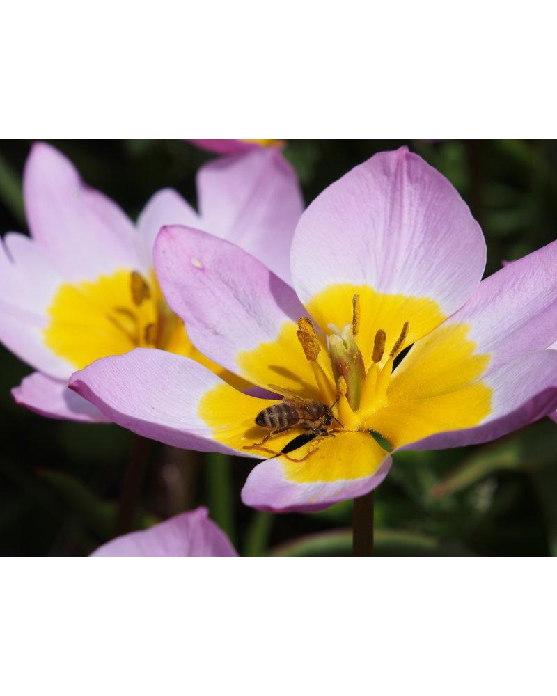 Botanische Tulpjes en Druifjes Mix -2 Chemievrij geteeld
