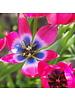 Tulipa Little Beauty - chemievrij geteeld
