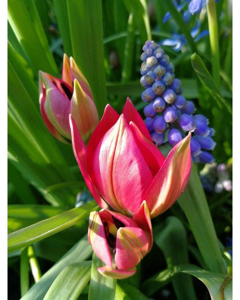 Tulipa Little Beauty - chemical free grown