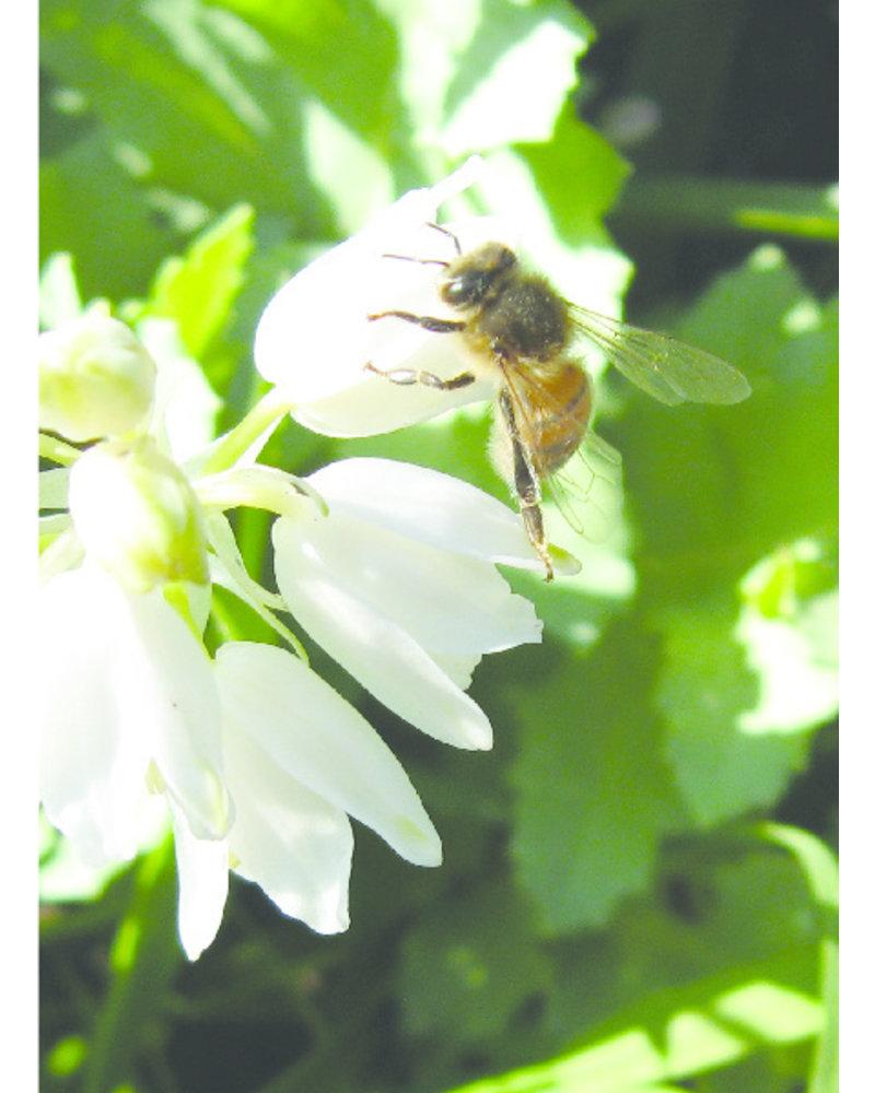Mega imkerpakket met 1400 bloembollen. De vroegste bloeiers met de hoogste nectar- en stuifmeelwaarde.   - Copy - Copy
