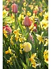 Tulpen-Narzissen-Mix 02  Garden Delight. Chemiefreier Anbau