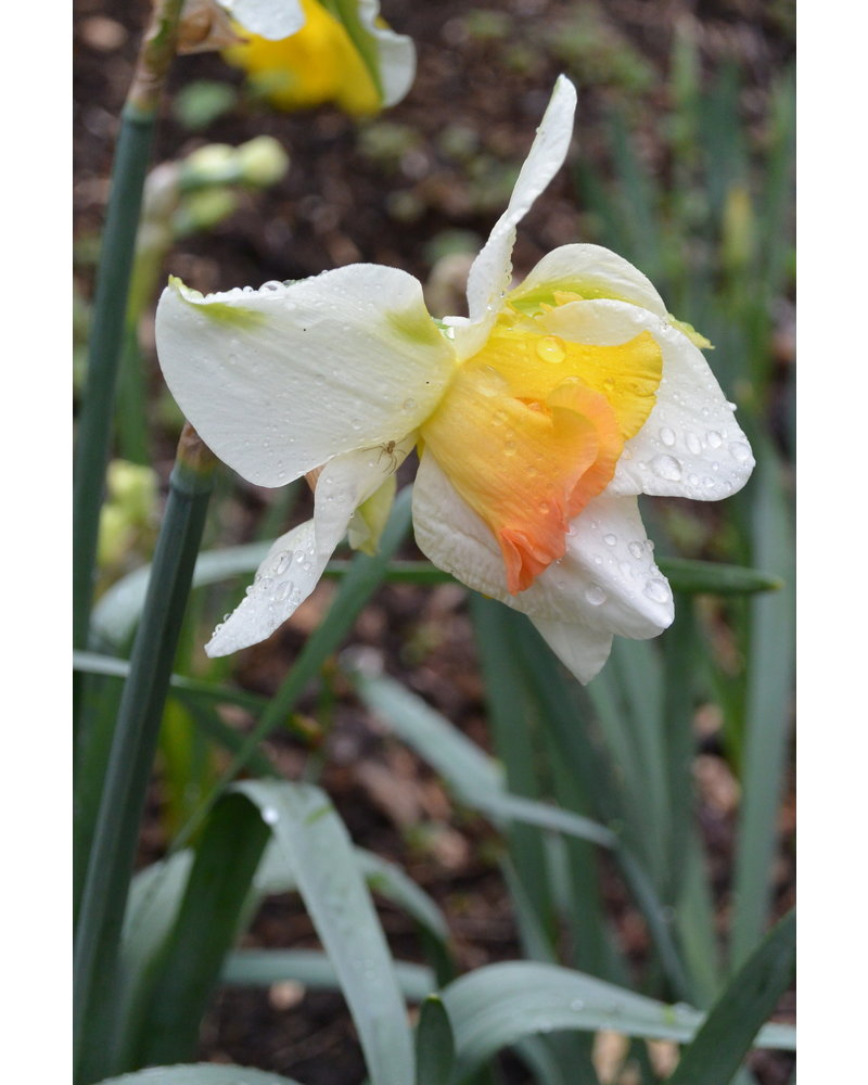 Tulip Daffodil Mix 02 Garden Delight. Grown free of chemicals