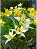 Botanische Tulpe turkestanica - chemiefreier Anbau