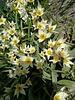 Botanisch tulpje Turkestanica- tulipa turkestanica - chemievrij geteeld