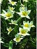 Botanical tulip Turkestanica- Tulipa Turkestanica - chemical-free grown