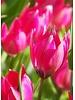 Tulipa Little Beauty - chemiefreier Anbau