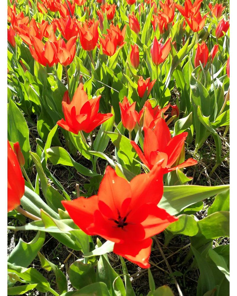 Groot imkerpakket A met 700 bloembollen. Voordeelbasispakket om te starten. De vroegste bloeiers met de hoogste nectar- en stuifmeelwaarde.