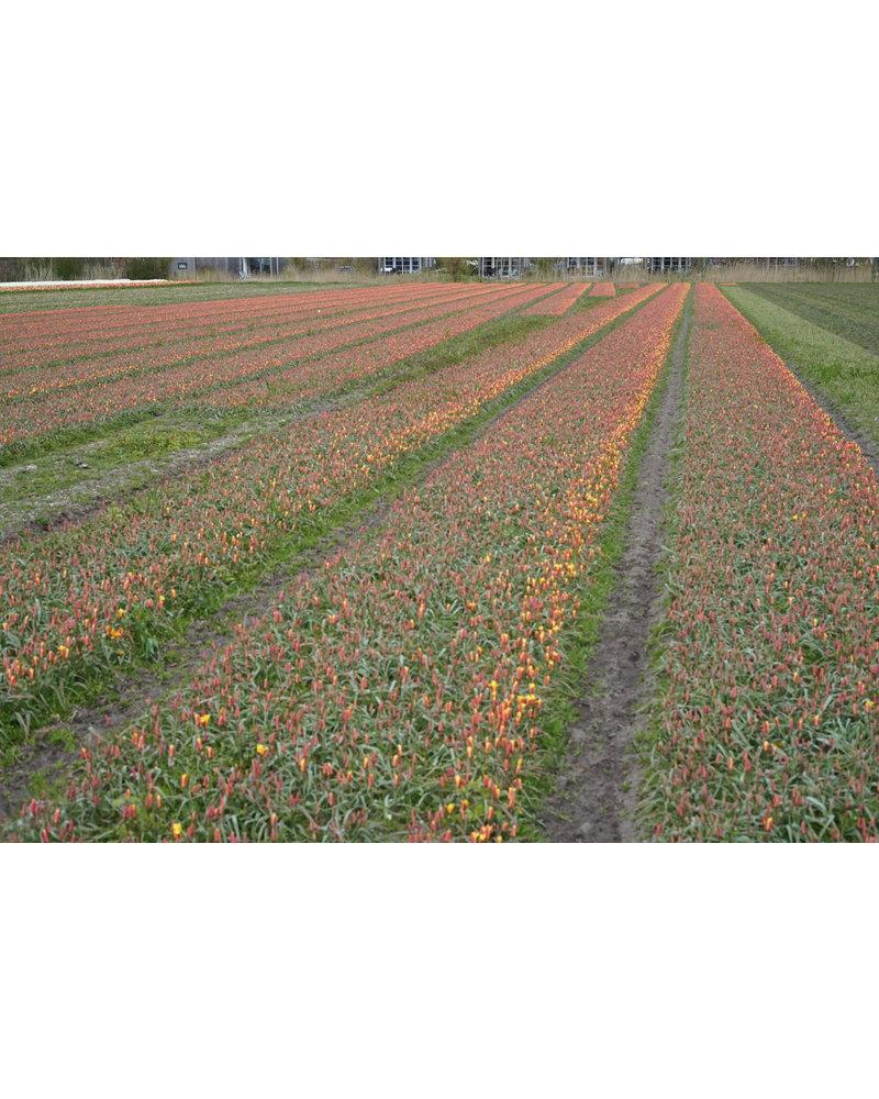 Tulipa Clusiana Chrysanthum - chemiefreier Anbau