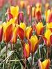 Botanisch Tulpje Clusiana Chrysantha - Tulipa Clusiana Chrysanthum- chemievrij geteeld