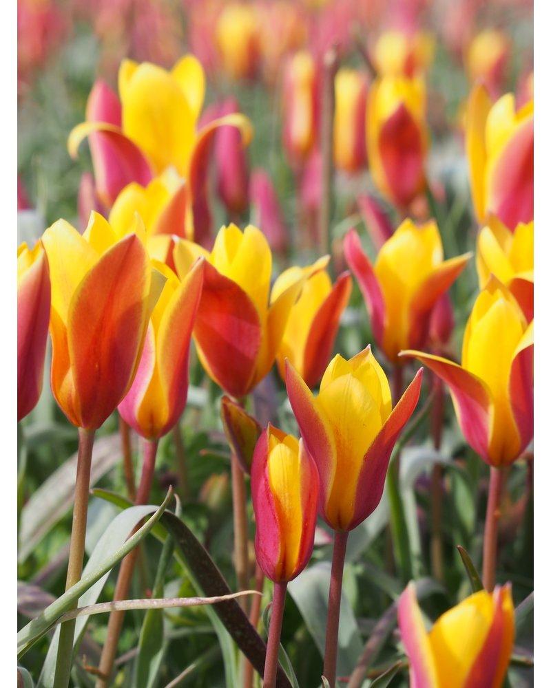 Botanisch Tulpje Clusiana Chrysanthum - Tulipa Clusiana Chrysanthum- chemievrij geteeld