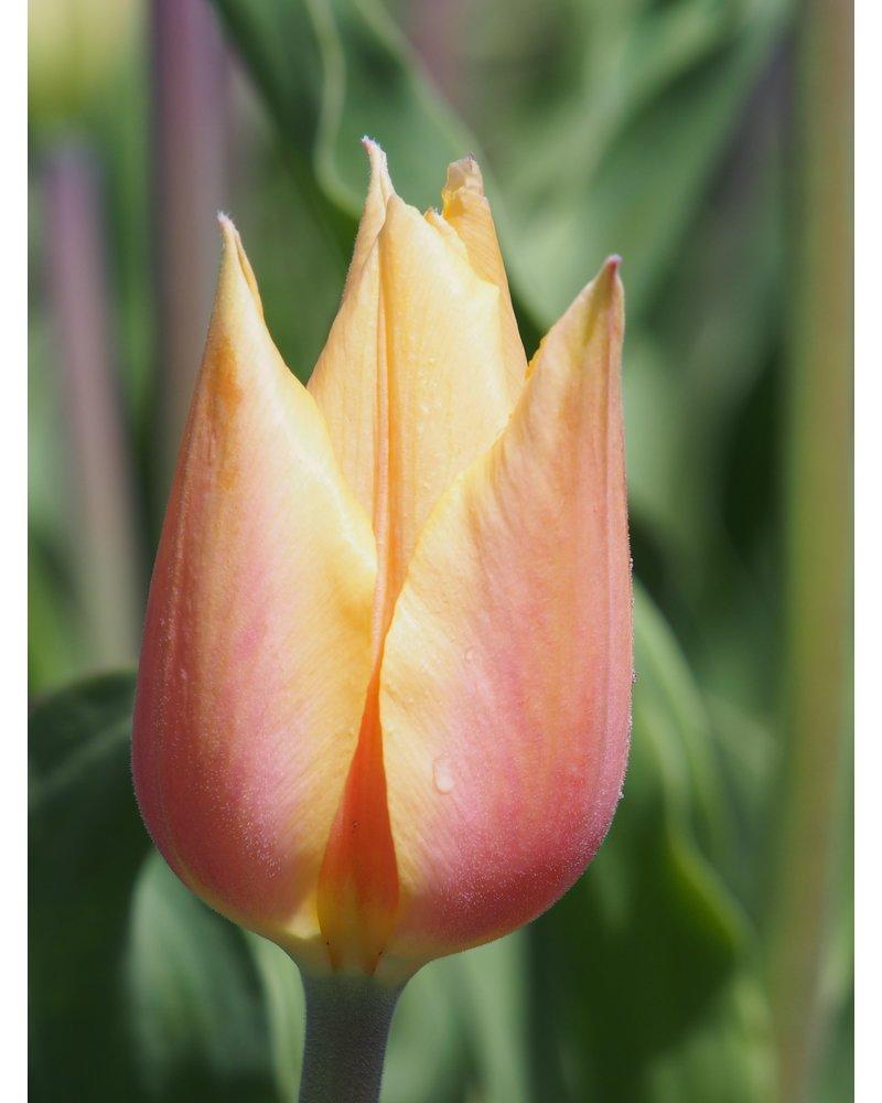Tulip Tulipa Blushing Lady - chemical-free grown