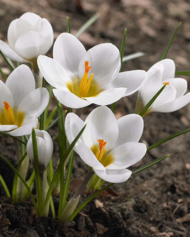 Crocus-chrysanthus-ard-schenk - chemical-free grown