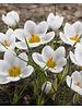 Vroege krokus Ard Schenk  - crocus chrysanthus  Ard Schenk - chemievrij geteeld