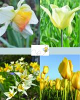 Tulip Daffodil Mix  02 - cheerfull spring